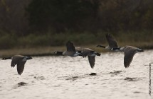 SLOCUM RIVER GEESE